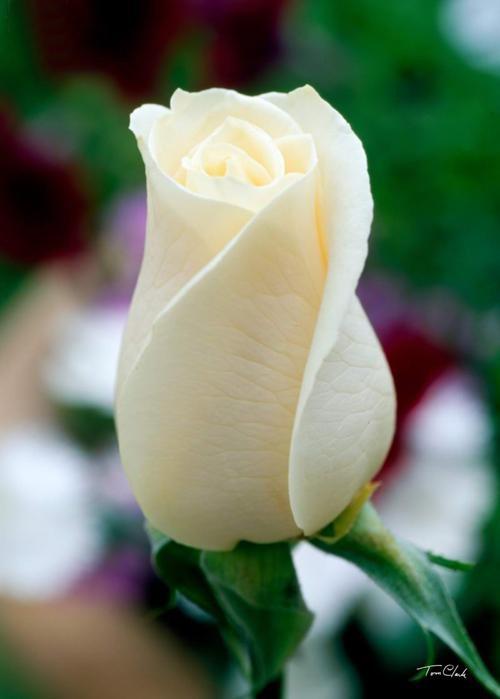 玫瑰枝会吸收水分,并运送到叶子和花瓣,如果浸入有颜色的水中,那么